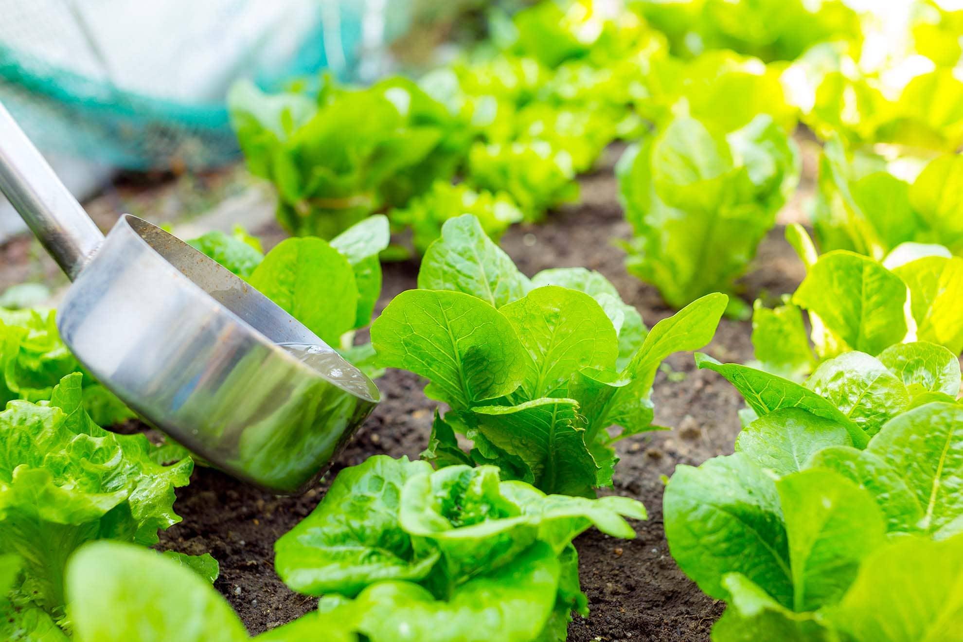 fertilizer-of-lettuce-4XW3TYJ-min